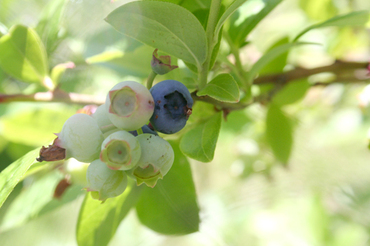 625_blueberry