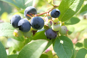 78_blueberry