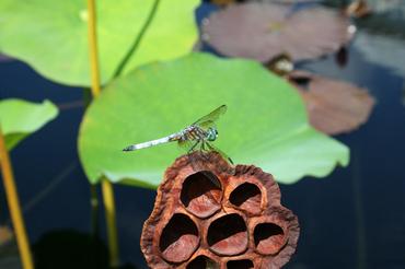 Dragonflybbg3